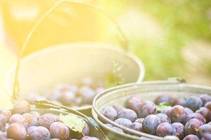 three buckets of plums in a garden