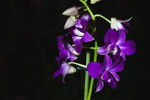 orchid(VERTICAL)