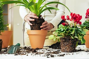 Woman's hands transplanting plant