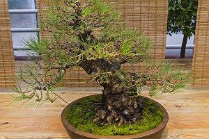 Bonsai tree  - Japanese black pine
