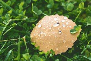 Fallen birch leaf yellow with drops