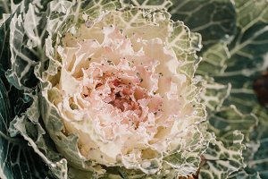 Close up of blooming cabbage
