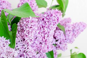 Beautiful Lilac Flowers