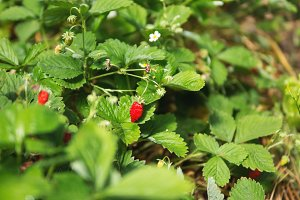 Bush of Fresh ripe wild strawberry