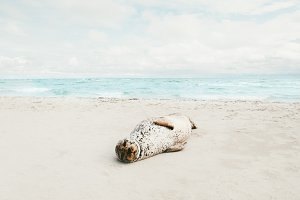 Seal animal relaxing on sandy beach