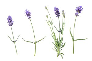 Lavender flowers white background