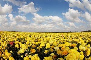 The field of yellow ranunculu