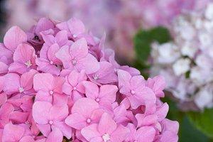 Beautiful Hydrangea Blossoms