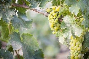 Beautiful Lush White Grape Bushels