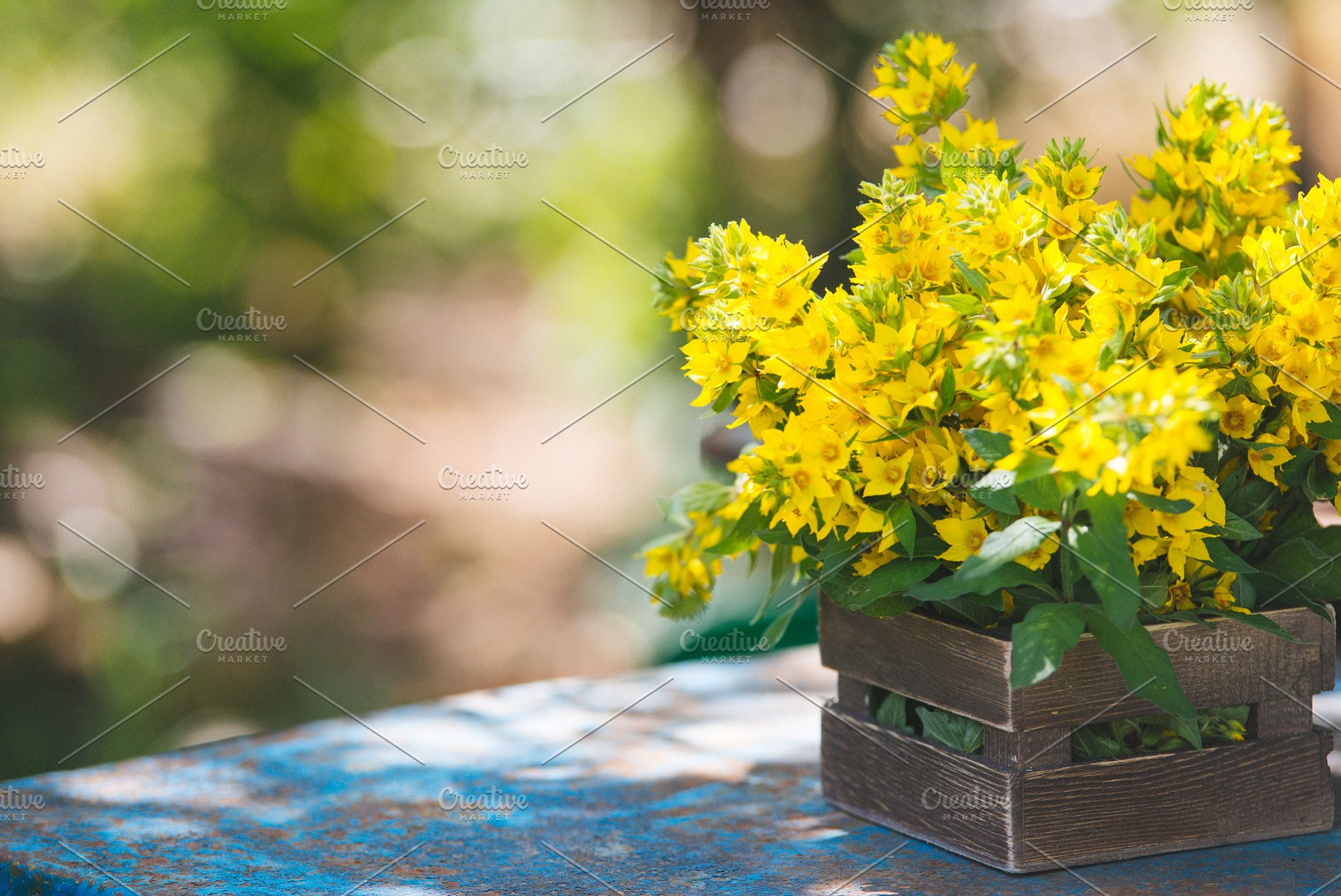 Beautiful yellow bells of blooming Lysimachia vulgaris (garden loosestrife,  yellow loosestrife, or garden yellow loosestrife) bouquet in wooden box in