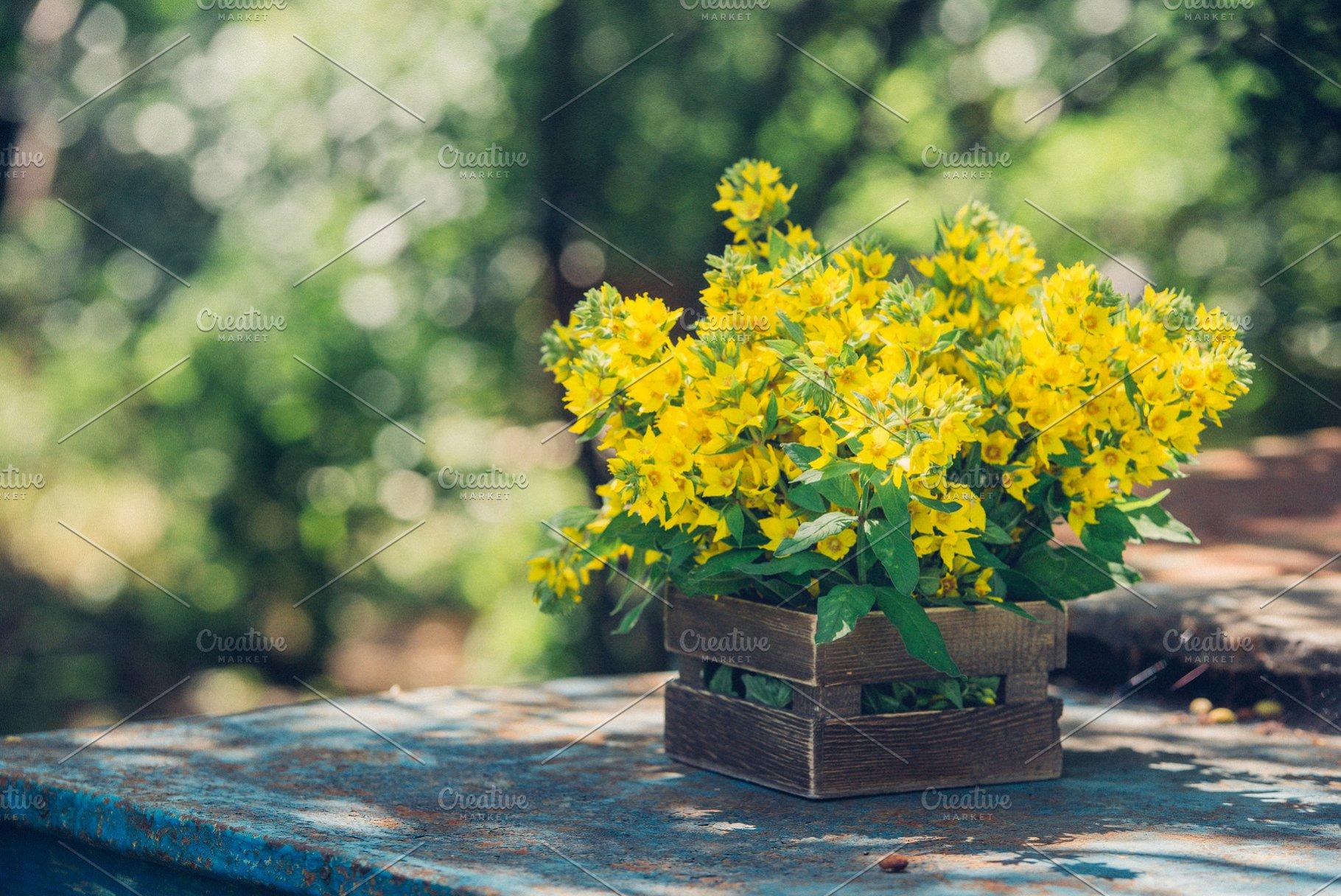 Beautiful yellow bells of blooming Lysimachia vulgaris (garden loosestrife,  yellow loosestrife, or garden yellow loosestrife) bouquet in wooden box in