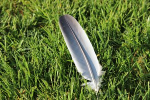 Feather on the lawn