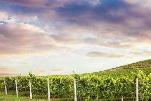 summer nature wine landscape