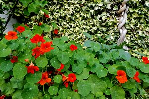 Nasturtium in the green garden