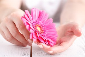 Pink flower gerbera in female hands