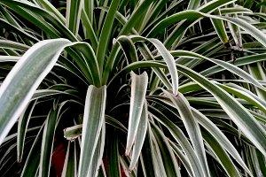 Clorophytum, spider plant on pot