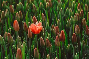 One blossoming red tulip