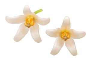 Tamarillo blossoms