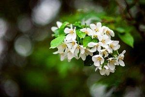 Green apple tree branch w