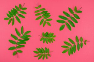 Green rowan tree leaves on bright