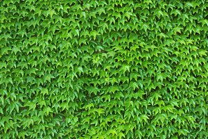 Green Ivy Wall Texture Background