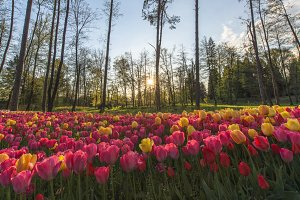 Sunset over tulip Field in Spring