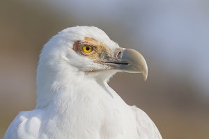 White vulture