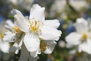 Flower of jasmine close-up