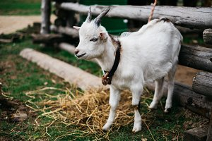 Photo of tied young goat on green meadow