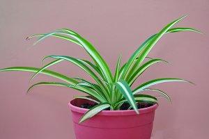 Chlorophytum on pink background