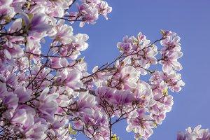 Magnolia blossoms VI