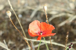 Red Poppy and Seed Pod Seaside