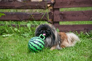Pekinese dog sitting on the grass