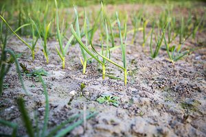 Young garlic plants. Side view.