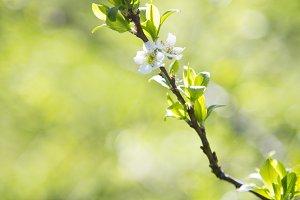 Spring apple blossom against