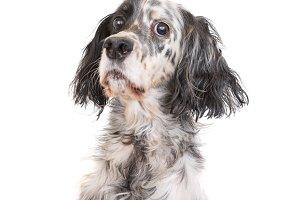 Dog english setter