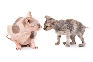 Purebred sphinx cat and grey kitten