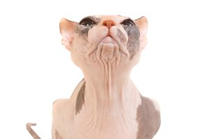 Purebred sphinx cat