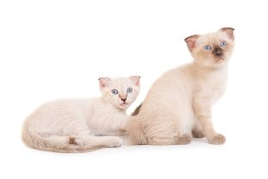 Two sitting purebred kittens
