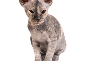 Grey purebred sphinx kitten