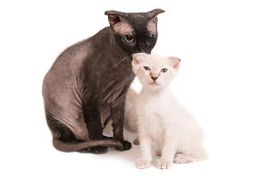 Black sphinx cat with a kitten