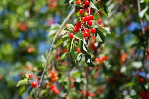 Tree with ripe red cherries