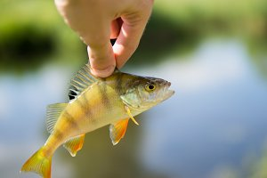 Perch fish on the background of the