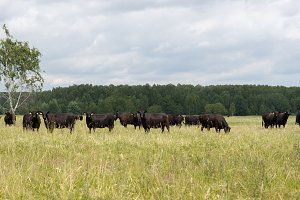black bulls walk in the field