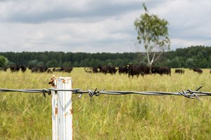 Black bulls behind barbed wire, bull