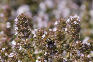 Thyme and bee