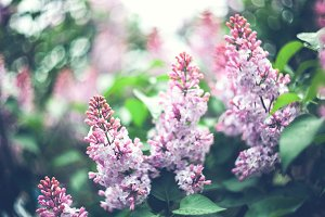 Beautiful lilac flowers outdoors