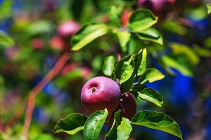 Branch with ripe red apple