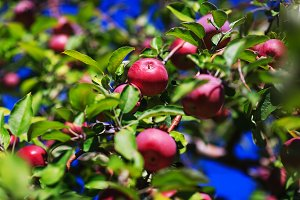 Organic apples hanging from a tree