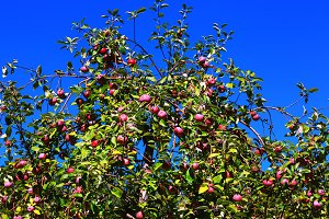 Fruitful branches of apple tree